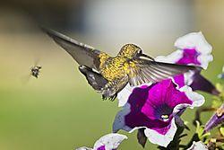 20170813_Hummingbirds_06.jpg