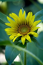 20170813_Sunflowers_01.jpg
