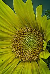20170813_Sunflowers_04.jpg