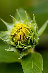 20170813_Sunflowers_05.jpg