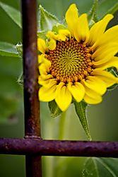 20170813_Sunflowers_06.jpg