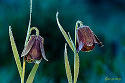 ADG3600fritillaria.jpg