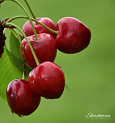 A_bunch_of_red_cherries_signed_JPG_-_14_Sept_18_-_Copyright_The_Art_Workshop_by_Mike_Russell.jpg