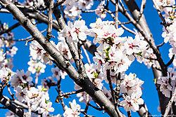 Almond_Tree_Flowers_Albuquerque_NM_March_11_2014_JG1_1306.jpg