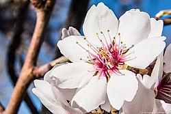 Almond_Tree_Flowers_Albuquerque_NM_March_12_2014_JG1_1356.jpg