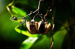 Aristolochia_indica_Pod.jpg
