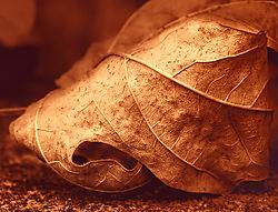 AutumnLeaf_CU.jpg