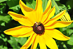 Black_Eyed_Susan_and_a_Bumble_Bee.jpg