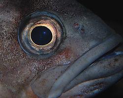 BlueRockfish_sm.jpg