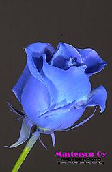 BlueRose_0055.jpg