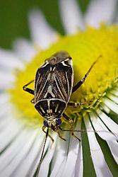 Blue_Eye_Beetle_6-12b.jpg