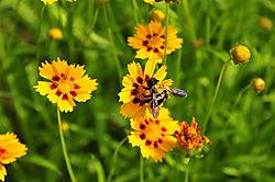 Bumble_Bee4.jpg