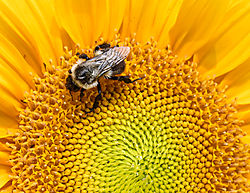 Bumble_Bee_on_Sunflower.jpg