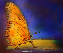 Butterfly_pyro_watercolor_Markison_2012_signed_640px.jpg