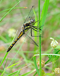 DSC_2832_Black_Darter_at_Crowle_Moor_NR_Lincolnshire_UK.jpg