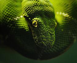 EmeraldTreeBoa.jpg