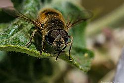 Flower_Fly_Thornton_Co_May_01_2014_JG1_3530.jpg
