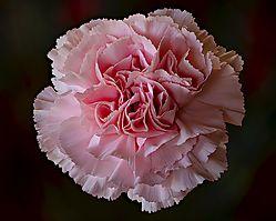 Focus_Stacked_Pink_Carnation.jpg