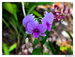 Hawaiian_Orchid.jpg