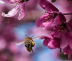 Honey_Bee_in_Crab_Apple_Tree_Blossums_Thornton_Co_May_03_2014_JG1_3800.jpg