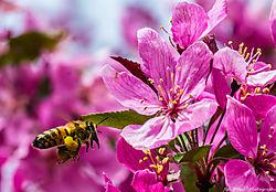 Honey_Bee_in_Crab_Apple_Tree_Blossums_Thornton_Co_May_03_2014_JG1_3804.jpg