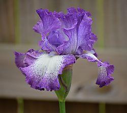 Iris_cropped_4-16.jpg