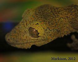 LeafTailedGecko1000pxsigned.jpg