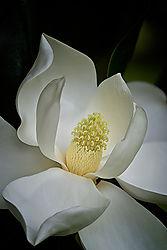 MM_Flower_Contest_1_Magnolia.jpg