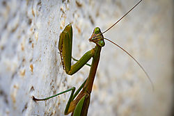 Mantis_portrait.jpg