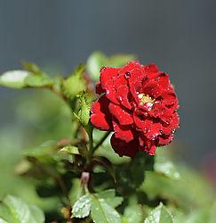 Miniature_Red.jpg