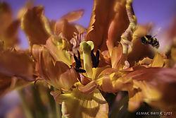 Orange_Tulip1.jpg