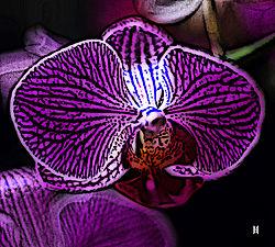 Orchid_woodcut_300dpi.jpg