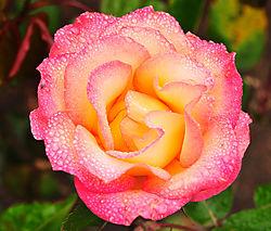 Rose_yellow_pink_juicy.jpg
