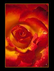 SCC-spend7963B1-Raindrops_on_Roses.jpg