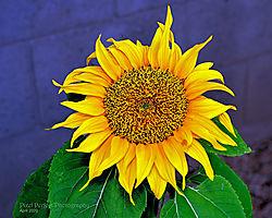 SunflowerUHH.jpg