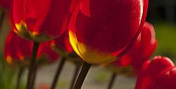 The_tulips.jpg