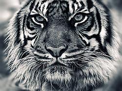 Tiger10.jpg