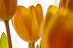 Tulip-11.jpg