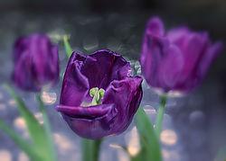 Tulip_Vignette.jpg