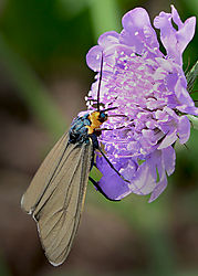 Virginia_Ctenucha_Moth_22.jpg