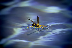 Wasp_on_Water.jpg