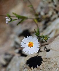 White_Daisy_2nd.jpg