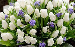 White_Tulips_.jpg