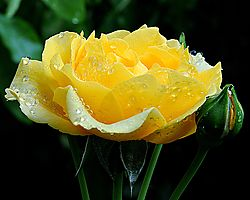 Yellow_Rose3.jpg
