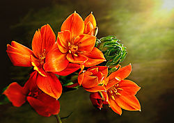 Zuidenwindlelie_oranje_-_Ornithogalum_dubium3752.jpg