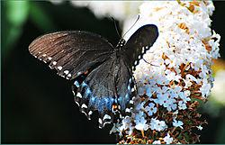 black_butterfly1.jpg