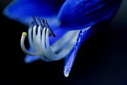 blueflwr4_m_.jpg