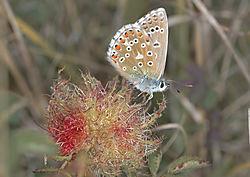 butterfly_blue_adonis_2_fontmell_down_dorset_30_08_2019.jpg