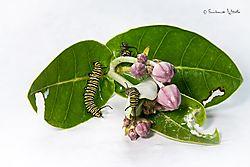 caterpillar11.jpg