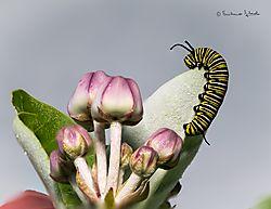 caterpillar21.jpg